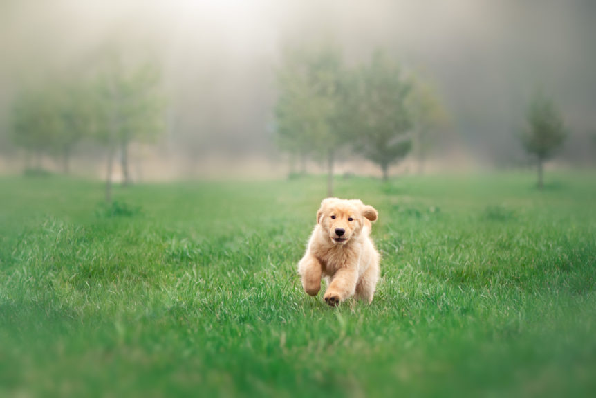St. Jacobs pet photography, running puppy